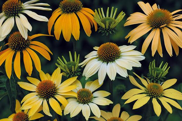 Echinacea purpurea 'Mellow Yellows' - image: Jelitto