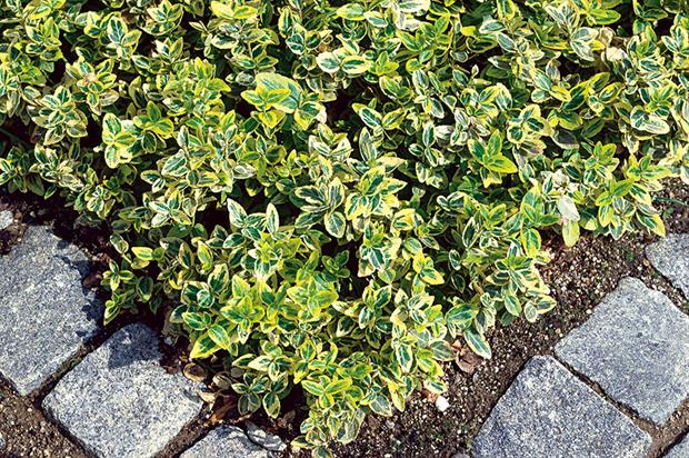Euonymus fortunei 'Emerald 'n' Gold' - image: Floramedia