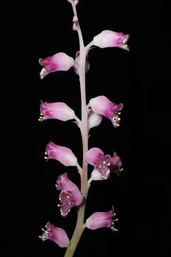 The l. rosea variety will be on show at Exbury in 2014