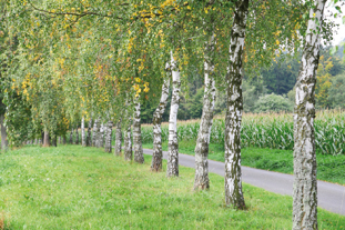 Birch is among traditional favourites still sought by local authorities to line streets and avenues in parks - image: iStockphoto