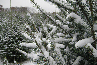 Traditional field-grown Christmas trees are beyond fashion - image: FlickR/Steve Winton