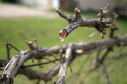 A pruned vine. Most prunings are left to decompose or are burnt on-site. Image: Flickr/daBinsi