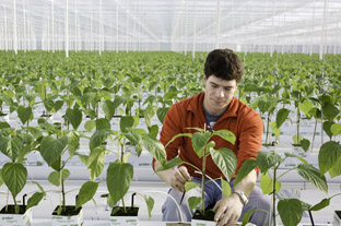 Peppers at Thanet Earth grown using less fertiliser - photo: Thanet Earth Marketing