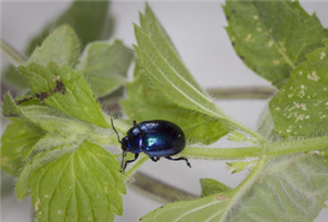 Blue mint beetle (Carol Sheppard)