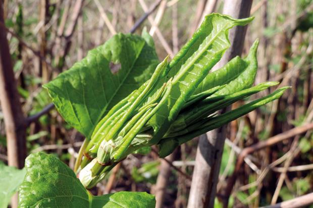 Japanese knotweed: problem caused by invasive plant - image: Pixabay