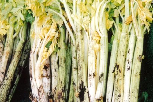 Fenland celery - image: Nick Saltmarsh