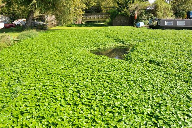 Floating Pennywort in Walthamstow East London in 2010. Image: GBNNSS for Defra