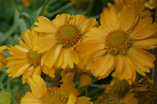 Gaillardia 'Apricot Honey - image: Hardy's Cottage Garden Plants