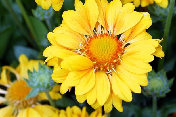 Gaillardia 'Naomi Sunshine' - image: Botanics International
