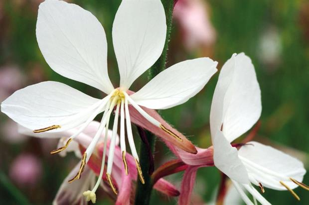 Gaura Ice Cool Rosy: a long flowering period - image: Hardy's Cottage Garden Plants