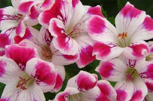 Geramiun Sophia - one of the new plant introductions at Four Oaks 2008 - photo: Delamore