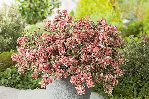 Abelia grandiflora 'Opstal103' (Magic Daydream) - image: Boomkwekerij R. van Opstal