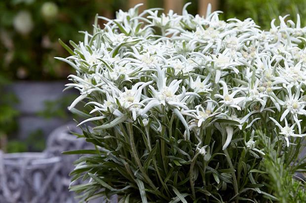 Leontopodium nivale subsp. alpinum BLOSSOM OF SNOW 'Berghman' - image: Harperley Hall Farm Nurseries