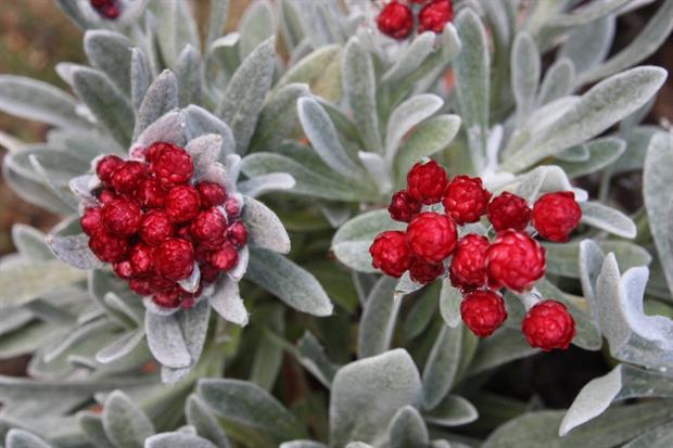Helichrysum amorginum 'Red Jewel'