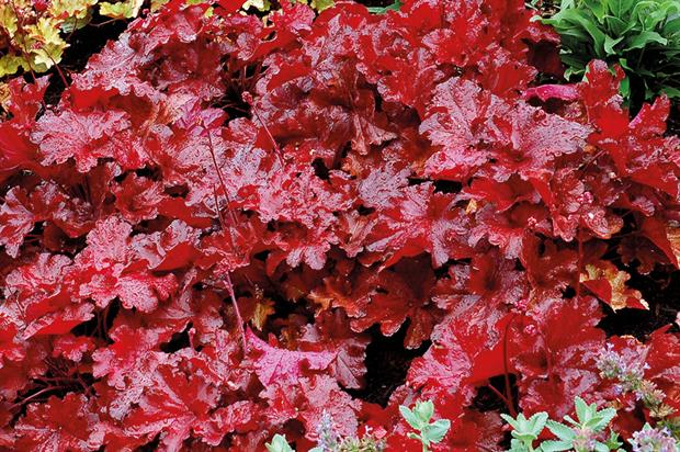 Heuchera 'Forever Red' - image: Kernock Plants