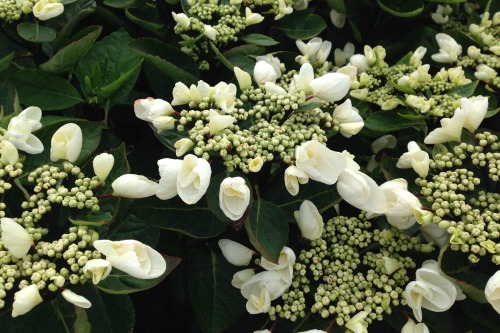 Hydrangea 'Coco Chic' - one of this year's new plants at Coblands