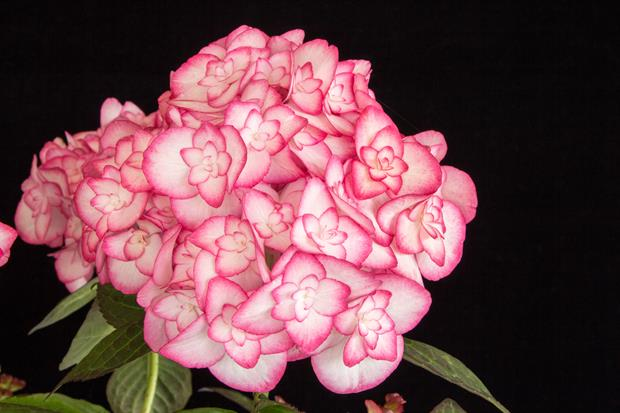 Hydrangea macrophylla Miss Saori ('H20-2')