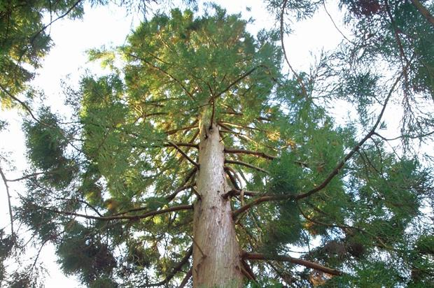 The champion Japanese cedar - image: Plas Tan y Bwlch