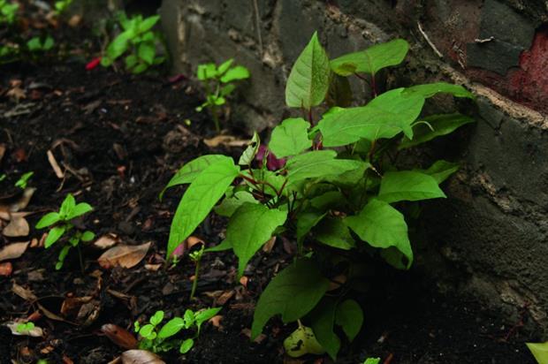 Japanese knotweed. Image: HW