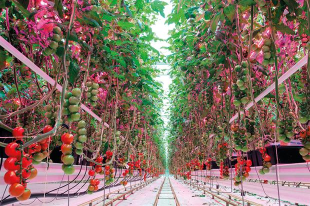 GreenPower: interlighting system for flavourful tomatoes or cucumbers all year round no matter where production is located - image: Philips Lighting Holding