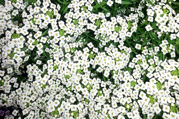 Lobularia 'Awesome White' - image: Cohen