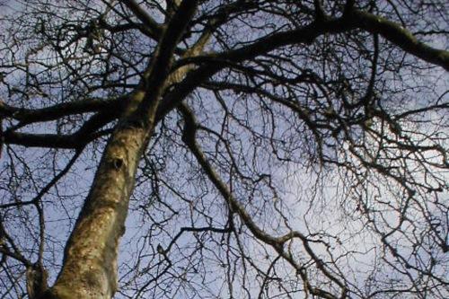 London plane tree - image:Rhian vK