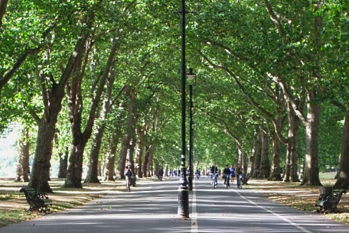 Avenue of London planes trees in Hyde Park - image: HW