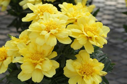 Marigold Alumia - image: Moles Seeds