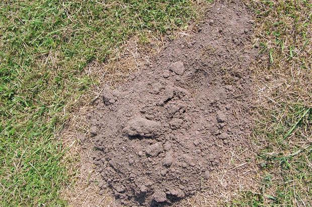 Mole damage - image: Dove Associates