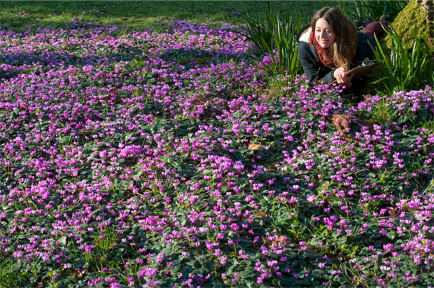 Bryony Wilde counts Cyclamen at Killerton House, Devon. Image: Steven Haywood for NT