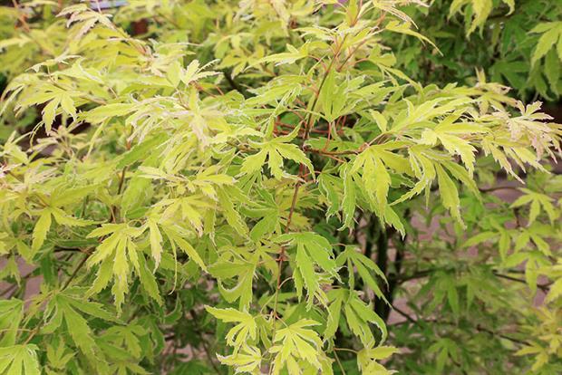Acer palmatum 'Metamorphosis' - image: HW