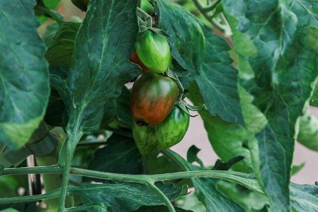 Tomato 'Shimmer' - image: HW