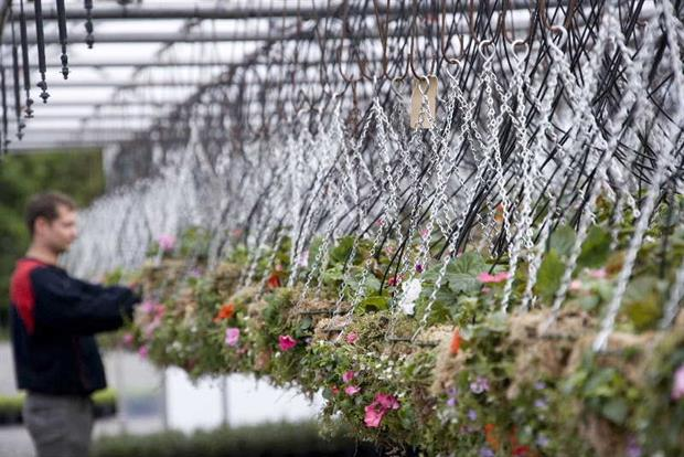 Hanging basket production at Nurture's Lancashire nursery