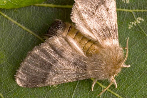 Adult oak processionary moth (Thaumetopoea processionea) - image:Forestry Commission