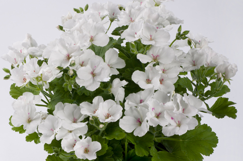 Pac 'Candy Flowers White' - image: Elsner Pac