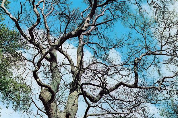 P. orientalis - image: Floramedia