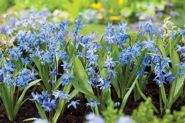 S. siberica AGM  - image: Floramedia