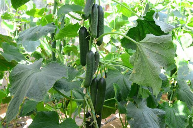 Pennard Plants' Cucumber 'Merlin' - image: RHS
