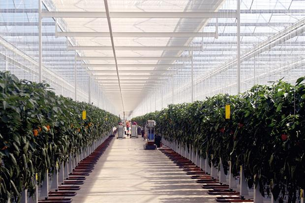 Growers: wondering whether it is worth investing in new production if produce is only worth pennies on the shelf - image: HW