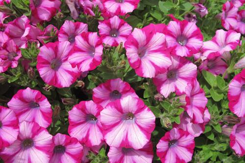 Petunia 'Mini Blast Rose' - image: Earley Plants