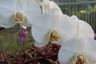 Phalaenopsis, the moth orchid, is reliable in production and easy to maintain, and sell - photo: Morguefile