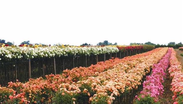 Uprawa i produkcja róż w Polsce