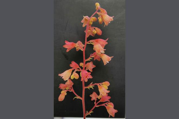 Heuchera 'Sweet Caroline' (Fox Series)  - image: RHS
