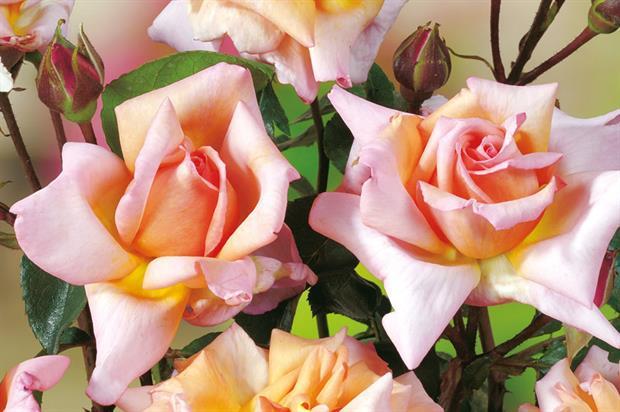 R. 'Compassion' - image: Floramedia