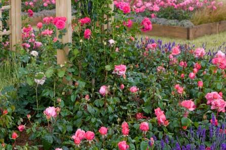 Roses under threat - photo: HW