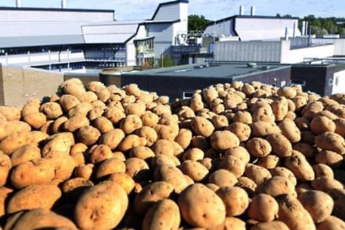 Potatoes at the Sainsbury's Laboratory - image:GM Watch