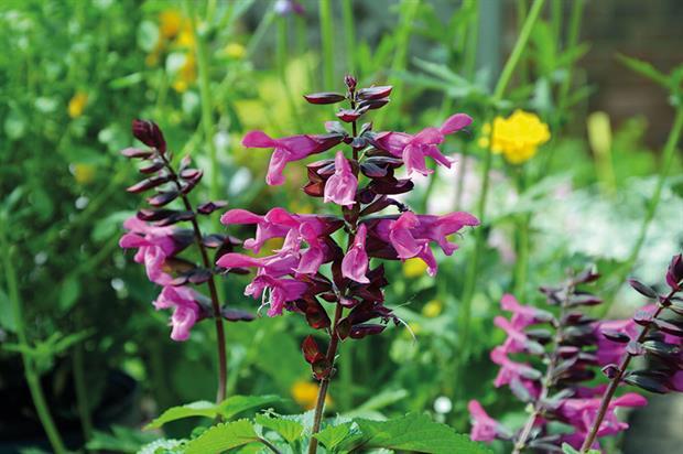 Salvia Rockin 'Fuchsia' - image: Kernock Plants