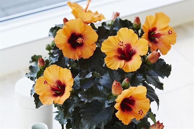 Hibiscus rosa-sinensis HibisQs Petit Orange ('Petit Orange') (HibisQs Petit Series) - image: RHS