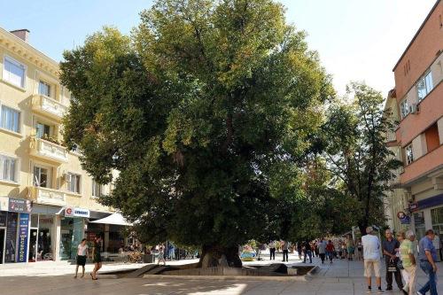 The Old Elm, Sliven - image:NAP