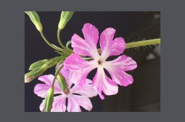 Primula sieboldii 'Keepsake' - image: Staddon Farm Nurseries